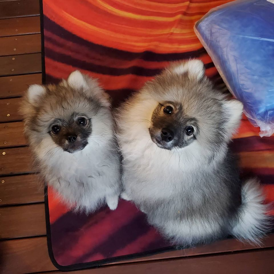Heres-Kahlua-and-Baylee-They-are-working-on-general-puppy-behaviors..jpg